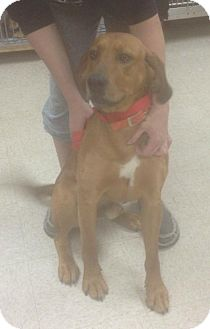 Redbone Coonhound Dog for adoption in Hartford, Connecticut - Red