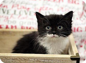 Domestic Shorthair Kitten for adoption in Fairfax Station, Virginia - Mocha Muffin