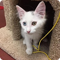 Domestic Mediumhair Cat for adoption in Woodland Hills, California - Krista