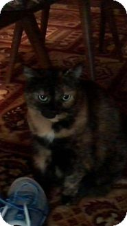 Maine Coon Cat for adoption in Westerly, Rhode Island - QT Tortie MC