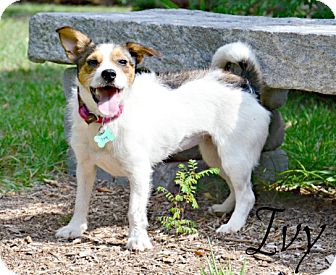Parson Russell Terrier Mix Dog for adoption in Chester, Connecticut - Ivy