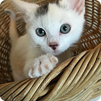 Domestic Shorthair Kitten for adoption in Meridian, Idaho - Snowflake