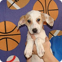 Australian Shepherd/Labrador Retriever Mix Puppy for adoption in Oviedo, Florida - Alina