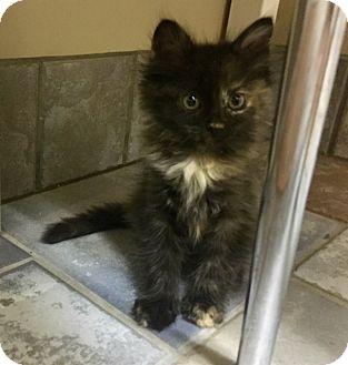 Domestic Longhair Kitten for adoption in Sherman Oaks, California - Pegasus