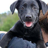 Adopt A Pet :: Sable - Glastonbury, CT