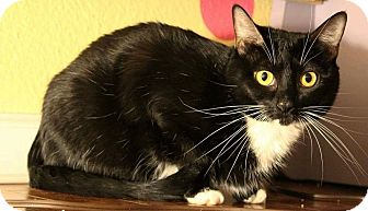 Domestic Shorthair Cat for adoption in Whittier, California - Ryelin
