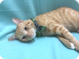 Domestic Shorthair Cat for adoption in Lexington, North Carolina - BUTTERSCOTCH