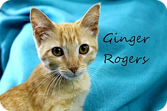 Domestic Shorthair Kitten for adoption in Wichita Falls, Texas - Ginger Rogers