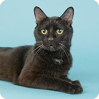 Domestic Shorthair Cat for adoption in Wilmington, Delaware - Boo