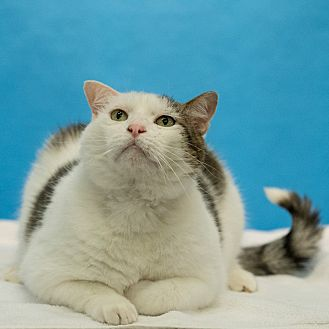 Domestic Shorthair Cat for adoption in Houston, Texas - Bart