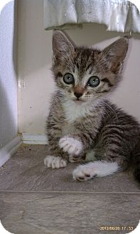 Domestic Shorthair Kitten for adoption in Morgan Hill, California - Lucy (aka: Monkey)