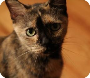 Domestic Shorthair Cat for adoption in Brooklyn, New York - MONA