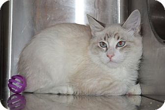Siamese Cat for adoption in Davis, California - Tessa