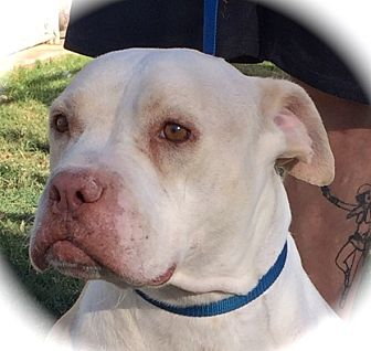 Pit Bull Terrier Dog for adoption in Blanchard, Oklahoma - Cash