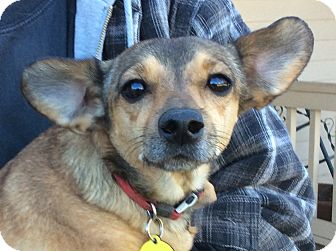 Dachshund Mix Dog for adoption in Simi Valley, California - Doxie Mix