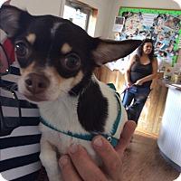 Adopt A Pet :: Chelsea - S. Pasedena, FL