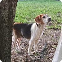 Adopt A Pet :: Sweet Pea II - Tampa, FL