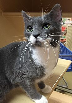 Domestic Shorthair Cat for adoption in Morganton, North Carolina - Sammy
