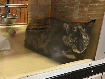 Domestic Mediumhair Cat for adoption in Salisbury, North Carolina - Bobo