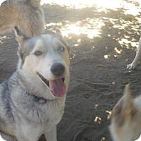 Siberian Husky Dog for adoption in Pacific Grove, California - Ashes