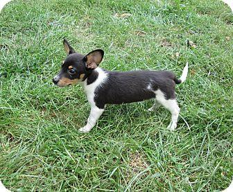 Miniature Schnauzer/Rat Terrier Mix Puppy for adoption in West Warwick, Rhode Island - Prince Snugabug