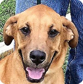 Labrador Retriever/Feist Mix Puppy for adoption in Germantown, Maryland - Billy