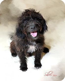 Standard Schnauzer Mix Dog for adoption in Providence, Rhode Island - Easton in MS