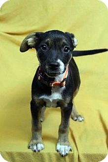 Shepherd (Unknown Type) Mix Puppy for adoption in Westminster, Colorado - NALA