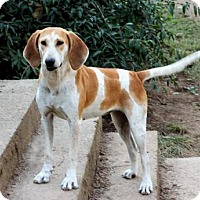 English (Redtick) Coonhound Mix Dog for adoption in Brattleboro, Vermont - LADY RACHAEL