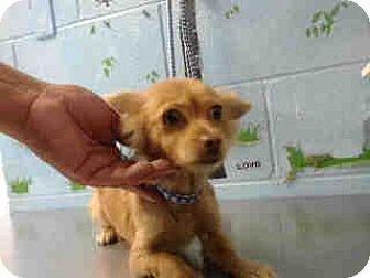 Chihuahua Dog for adoption in San Bernardino, California - URGENT ON 10/22 San Bernardino