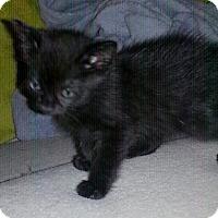 American Bobtail Kitten for adoption in Golsboro, North Carolina - JADE