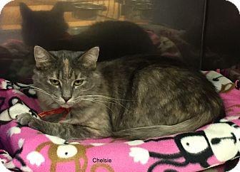 Domestic Longhair Cat for adoption in Hibbing, Minnesota - CHELSIE