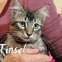 Domestic Shorthair Kitten for adoption in Wichita Falls, Texas - Tinsel