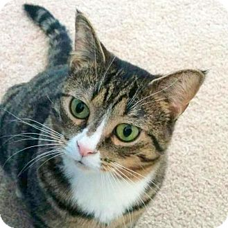 Domestic Shorthair Cat for adoption in Fairfax, Virginia - Fieval (with Remi)