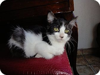 Domestic Mediumhair Kitten for adoption in Irvine, California - BONNIE, Must see video!