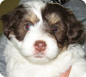 Shih Tzu/Poodle (Miniature) Mix Puppy for adoption in Thousand Oaks, California - Oreo