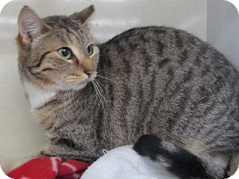 Domestic Shorthair Cat for adoption in Riverhead, New York - Ambrosia