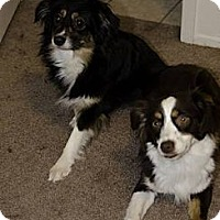 Adopt A Pet :: Penny - Mesquite, TX