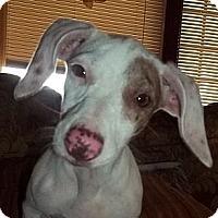 Adopt A Pet :: Preslie - Staunton, VA