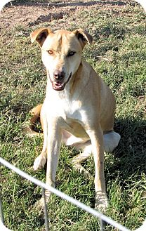 Rhodesian Ridgeback/Labrador Retriever Mix Dog for adoption in Waller, Texas - Tye