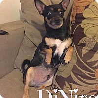 Chihuahua/Terrier (Unknown Type, Small) Mix Dog for adoption in Scottsdale, Arizona - DeNiro (Courtesy Listing)