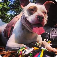 Adopt A Pet :: Bean - Dearborn, MI