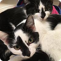 Adopt A Pet :: Apollo - Walnut Creek, CA