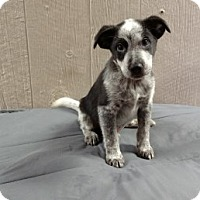 Adopt A Pet :: Sheldon Adoption pending - Manchester, CT