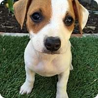 Adopt A Pet :: March Madness Pup - Badger - Adopted! - San Diego, CA