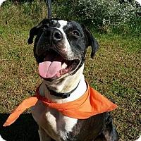Hound (Unknown Type)/Staffordshire Bull Terrier Mix Dog for adoption in Richmond, Virginia - Moonpie