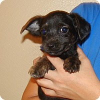 Adopt A Pet :: Diamond - Oviedo, FL