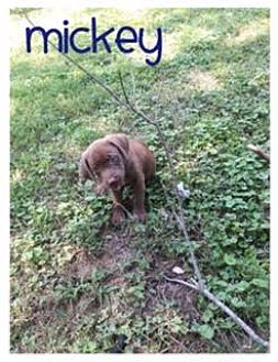 Dachshund/Labrador Retriever Mix Puppy for adoption in Wilmington, Delaware - Mickey