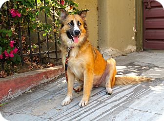 Husky/Collie Mix Dog for adoption in Los Angeles, California - Mazarine
