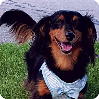 Dachshund Dog for adoption in Taunton, Massachusetts - Coco Channel